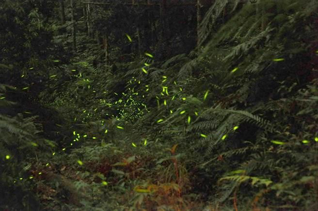 奧萬大螢火蟲種類多,4月中旬起將漸入賞螢熱季。(南投林管處提供)