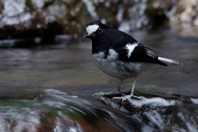 奧萬大野鳥種類多,罕見珍奇「小剪尾」常在這裡現蹤。(沈揮勝攝)