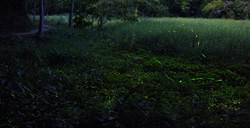 最佳平地賞螢點 新化林場螢火蟲滿天飛