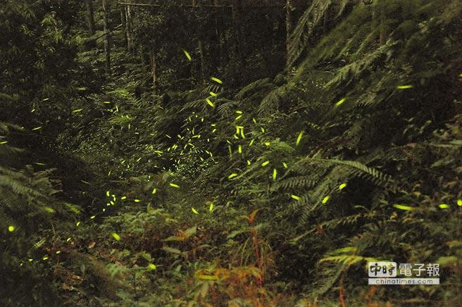 奧萬大天然環境佳,螢火蟲種類多,4月中旬起將漸入賞螢熱季。(南投林管處提供)