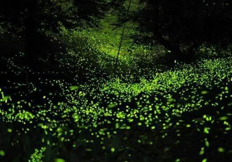 大窩地區因保有原始風貌,入夜後,螢火蟲閃閃發亮,如滿天星斗非常壯觀。(大窩文史生態協會提供)