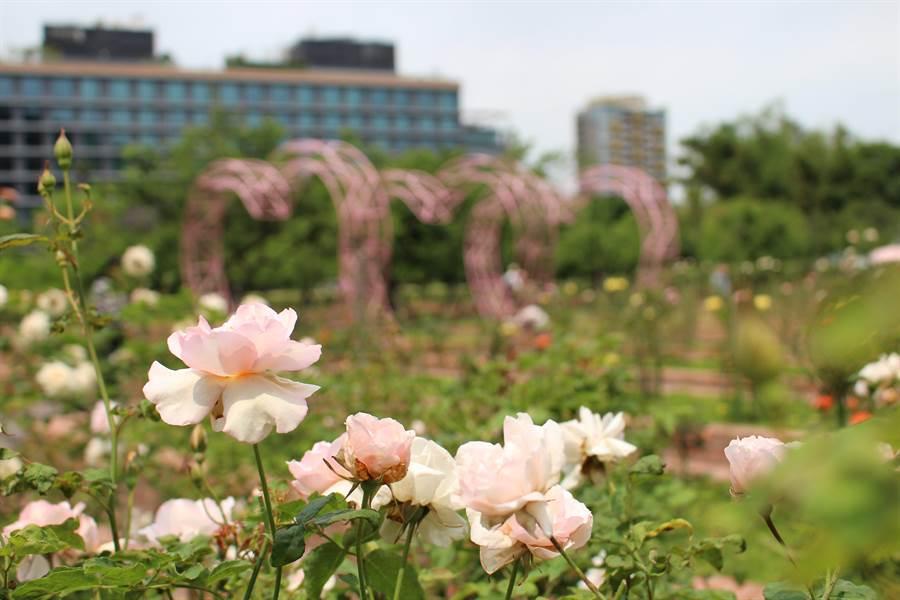 士林官邸玫瑰盛開,即日起展出至28日,朵朵香艷欲滴的玫瑰花充滿浪漫氣氛。(北市公園處提供)