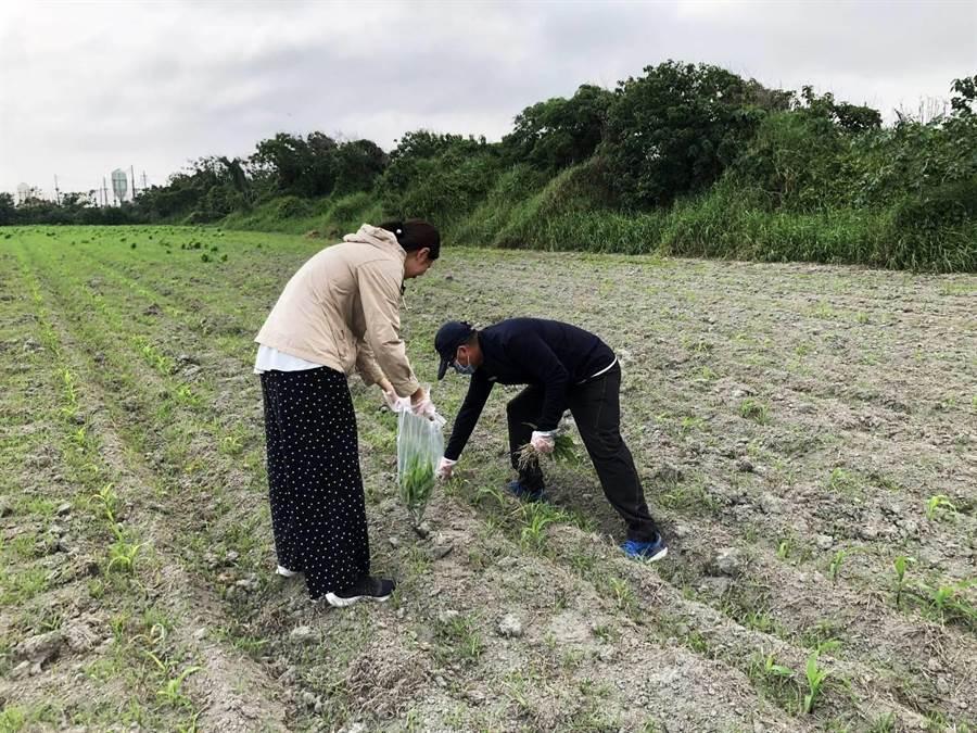 六輕氣爆後,縣府農業處與農糧署採集土壤化驗。(周麗蘭翻攝)