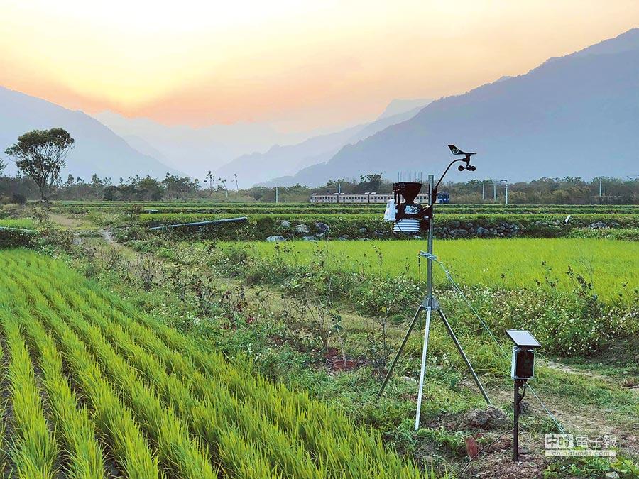 青農魏瑞廷結合專業農業氣象團隊「阿龜微氣候」,在池上禾穀坊的稻田設置微氣象站,要成為「新式農民曆」。(楊漢聲攝)