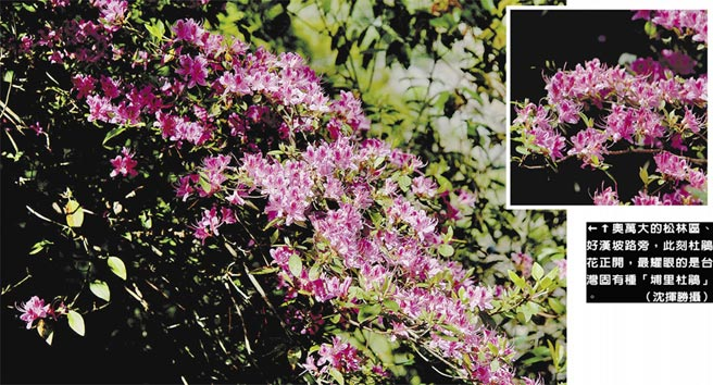 奧萬大的松林區、好漢坡路旁,此刻杜鵑花正開,最耀眼的是台灣固有種「埔里杜鵑」。(沈揮勝攝)