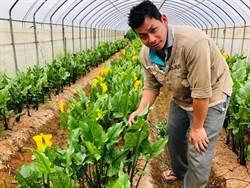 七年級花農 種海芋外銷打響桃園海芋