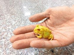 別人有旅蛙 他養療癒角蛙