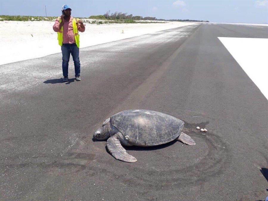 綠蠵龜產卵驚見家鄉變機場 網心痛(圖/翻攝自推特/@ParveenKaswan)