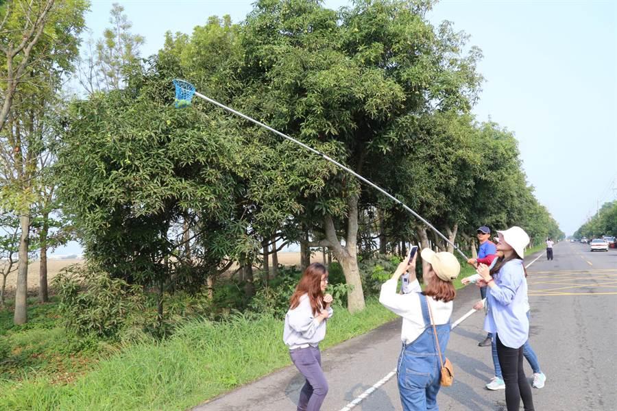 嘉義縣鹿草鄉每年4月都會封閉167縣道東西兩側約2公里路,供民眾免費採土芒果,13日一大早民眾攜家帶眷來「卡檨仔」。(張亦惠攝)