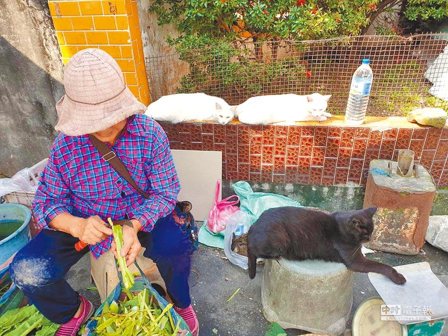 菜販簡鳳嬌收養市場附近流浪貓並幫忙絕育。(許家寧攝)