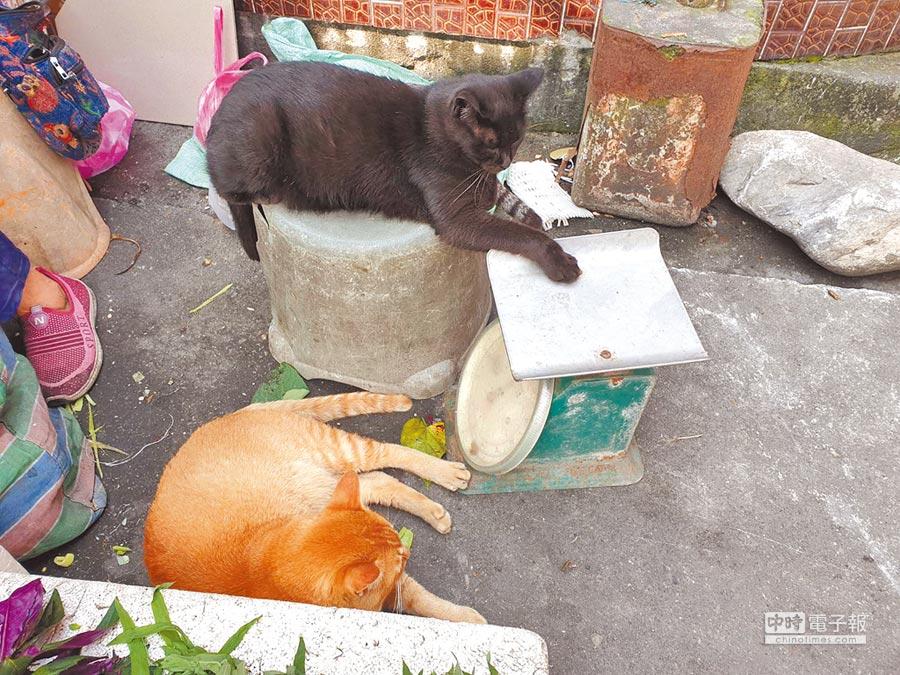 黑貓奇奇和橘貓多多學主人把貓掌放在磅秤上秤重,模樣相當討人喜歡。(許家寧攝)
