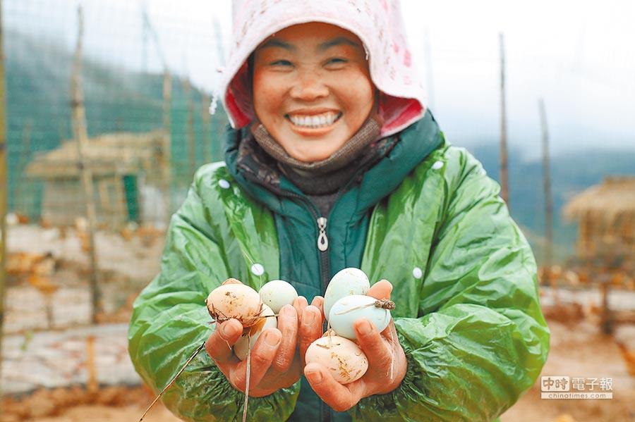 廈格村是貴州精準扶貧的一個縮影,圖為侗族婦女展示剛剛下的綠殼雞蛋。(中新社)