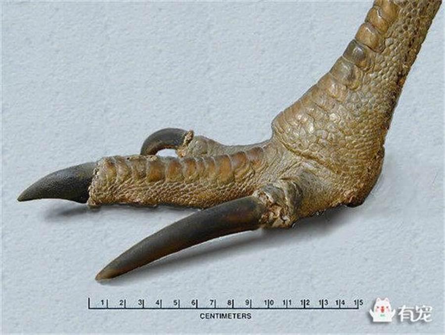 「食火雞」的利爪長達10公分以上,像刀一樣鋒利。(圖取自《微信》)