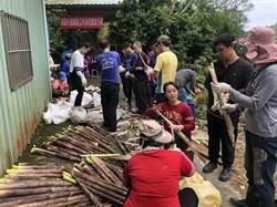 桃園復興桂竹筍產季 民眾體驗採筍樂