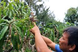 雨勢、南風來襲全「酥花」今年5、6月沒楓港愛文芒果可吃了