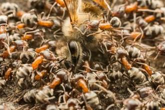 恐怖食人蟻 10分鐘嗑光一頭牛