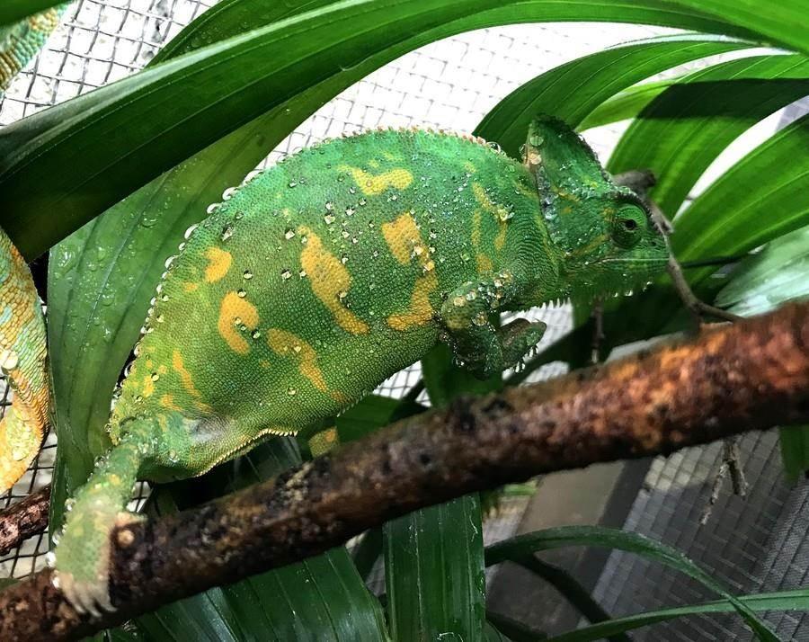发情期的母高冠变色龙体色(拍摄:戴为愚)。(台北市立动物园提供)