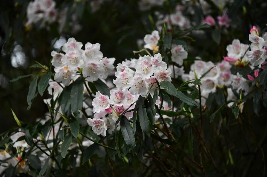 森氏杜鵑相較於狹義的玉山杜鵑,植株較高大,葉片較長、較平、較薄且無反捲;但近年兩者已併為同種。(沈揮勝攝)