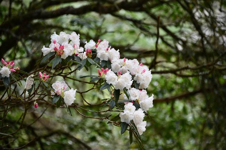 玉山杜鵑之中海拔型「森氏杜鵑」,嬌柔美麗。(沈揮勝攝)