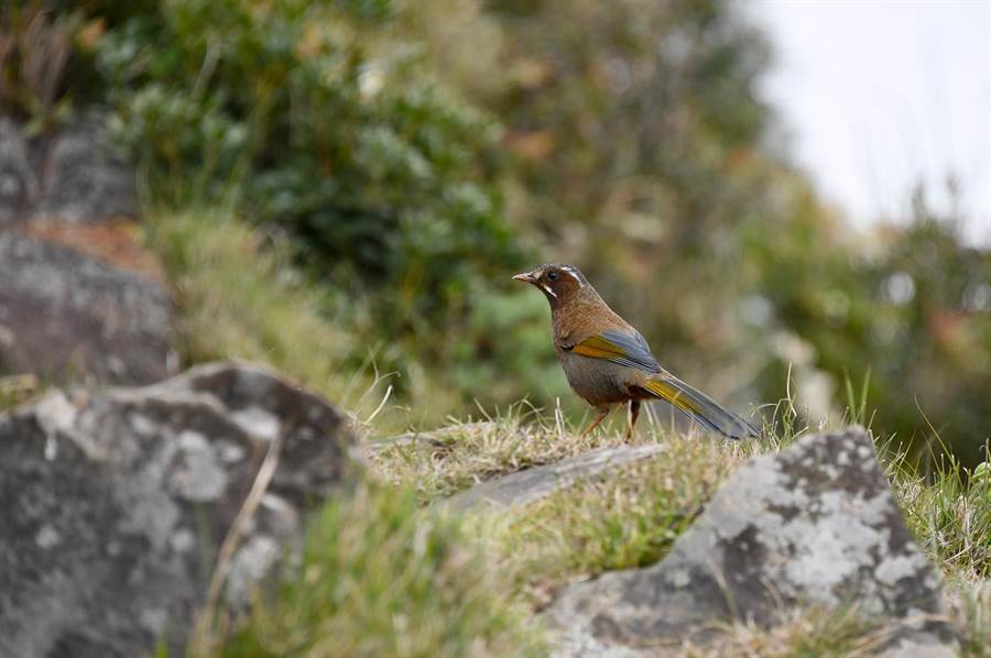 台灣最大體型的畫眉科鳥類「金翼白眉」。(沈揮勝攝)