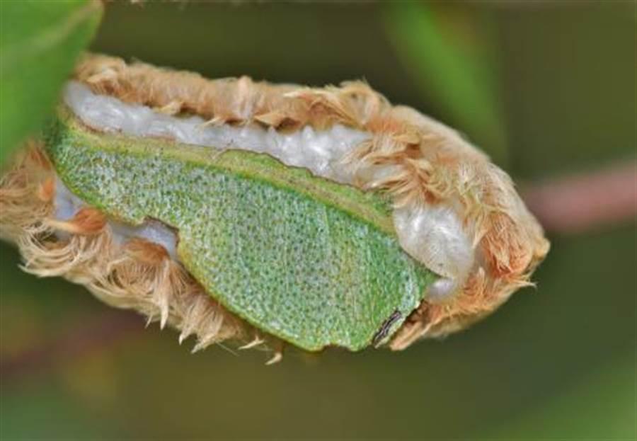 貓毛蟲可愛外表下都是毒刺(圖片取自/達志影像)