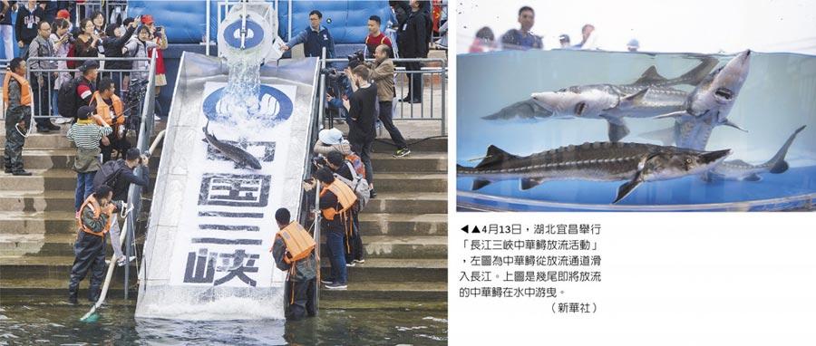 4月13日,湖北宜昌舉行「長江三峽中華鱘放流活動」,左圖為中華鱘從放流通道滑入長江。右圖是幾尾即將放流的中華鱘在水中游曳。(新華社)