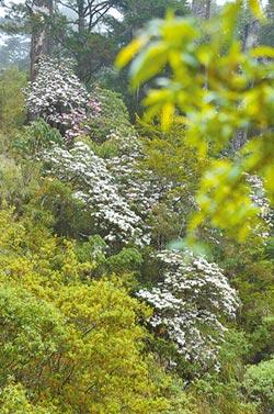 森氏杜鵑盛開如瀑 塔塔加人氣爆棚