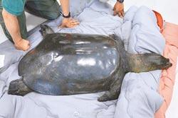 陸唯一雌斑鱉去世 全球僅剩3隻