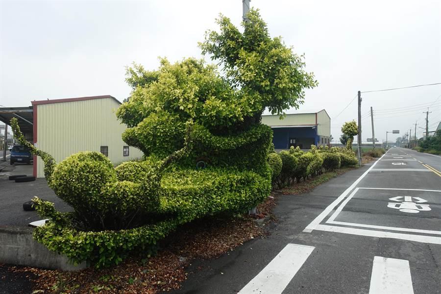 雲林縣虎尾鎮老農施添文的「大作」,是由50棵黃金榕修剪、形塑而成,已成為延平里最「威」的入口意象。(許素惠攝)