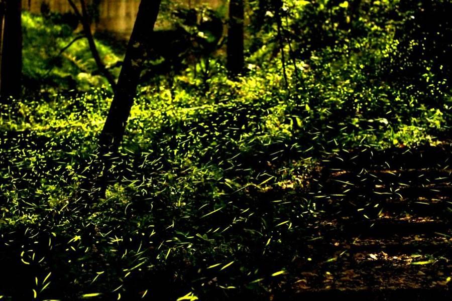 東勢林場螢火蟲進入活躍高峰期,數量已達10萬隻。(東勢林場提供)