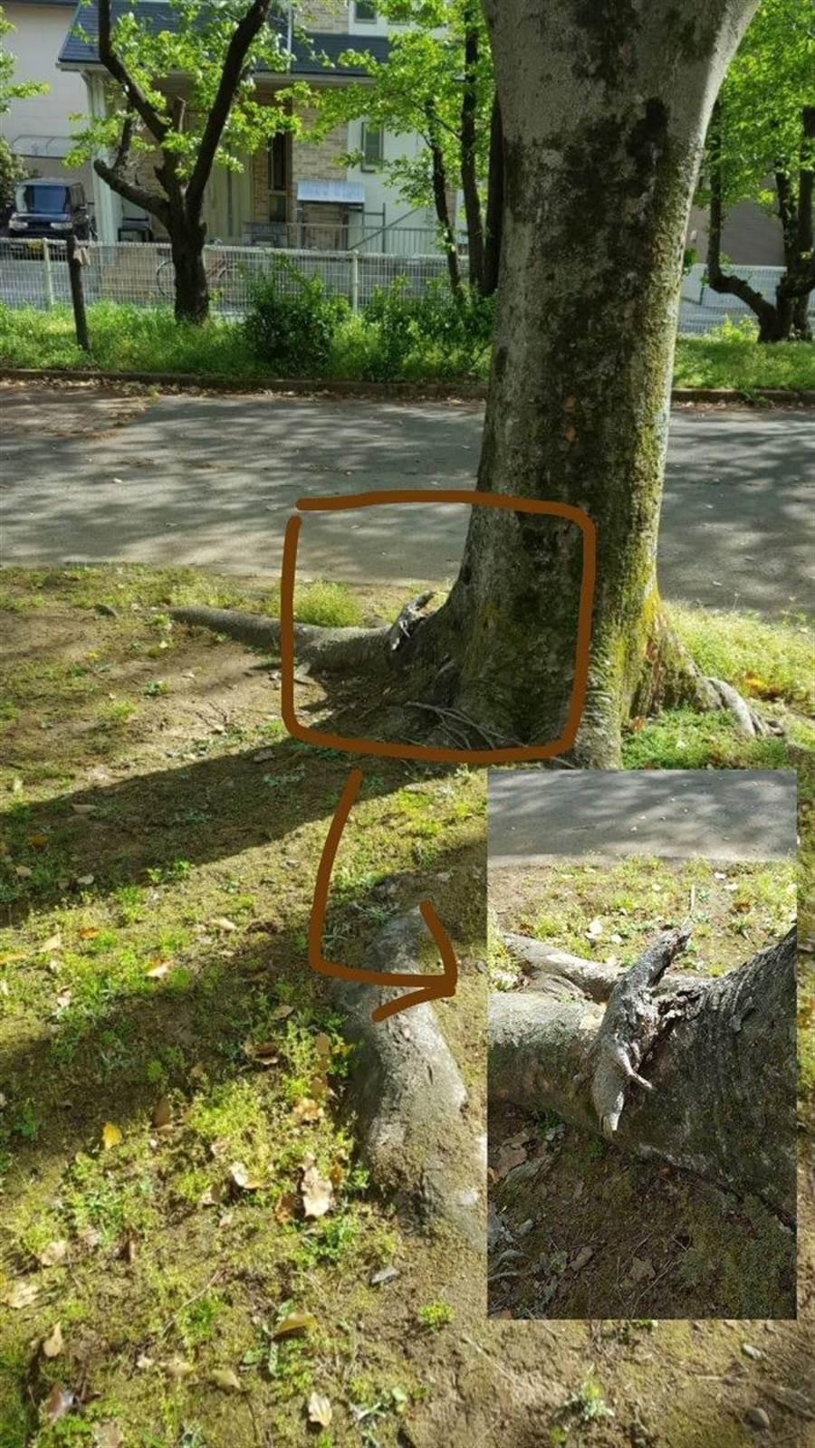 也有網友分享類似經歷,誤以為在樹上看見大蜥蜴,結果只是突出的樹根(圖翻攝自/推特/@haru_k76)