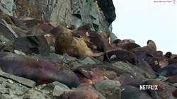 海象被逼上懸崖 為了覓食集體跳海
