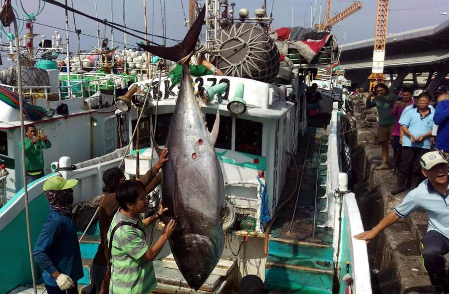 琉球籍漁船「滿大豐2號」捕獲第一鮪, 17日上午經東港區漁會進行鑑定和秤重後,確定符合標準。(潘建志攝)