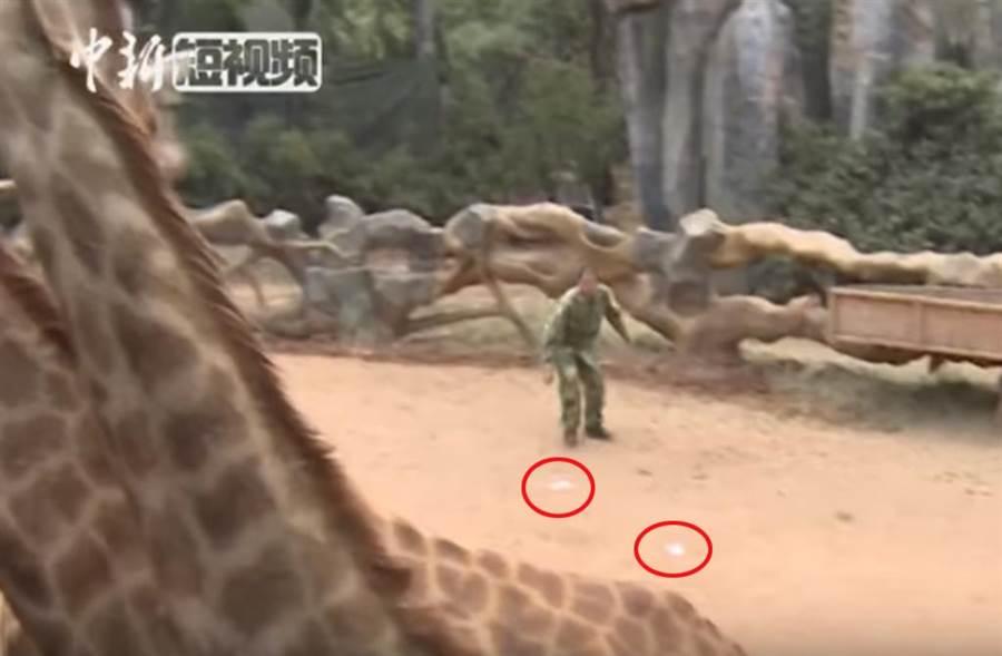 雲南動物園長頸鹿景區內散落大量紙鈔,工作人員趕緊「撿鈔救鹿」。(截自網路影片))