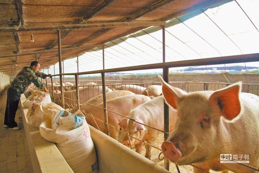 中國大陸爆發非洲豬瘟,導致大量豬隻遭到撲殺,北京當局正在尋找外國進口商,或是其他替代肉源,然而,受到中美貿易戰影響,陸對牽涉到豬肉用藥、雞肉禁令等議題談判恐受阻。(圖/新華社)