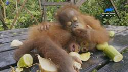 人類貪婪與自私!紅毛猩猩驟減 恐瀕臨絕種
