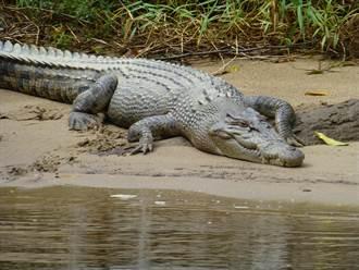 困沼澤被鱷圍住 情侶機智一招獲救