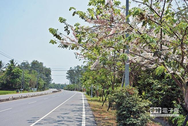 盛開花旗木妝點屏東市重要聯外道路,展現南國春季繽紛。(林和生攝)