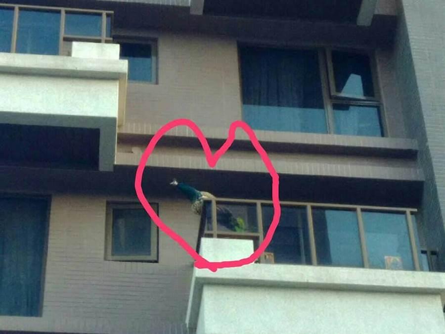 網友家陽台飛來一隻孔雀。(翻攝自臉書《龜山生活通》)