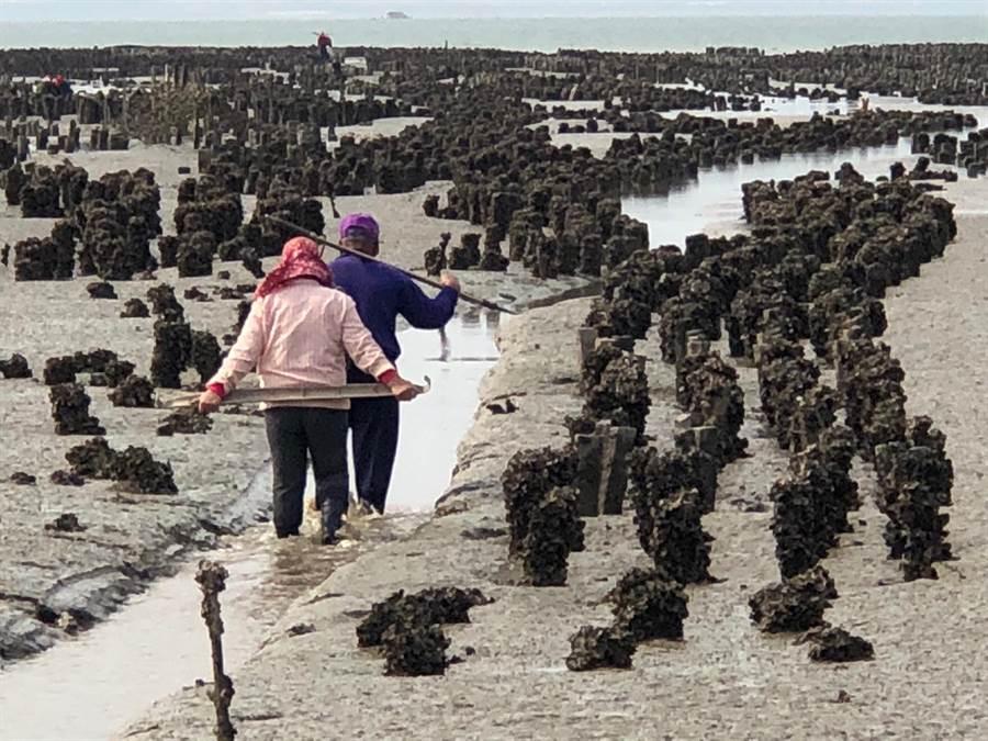 古寧頭的遼闊蚵田,已有600多年歷史,「築海為田」景致饒富濱海風情。(李金生攝)