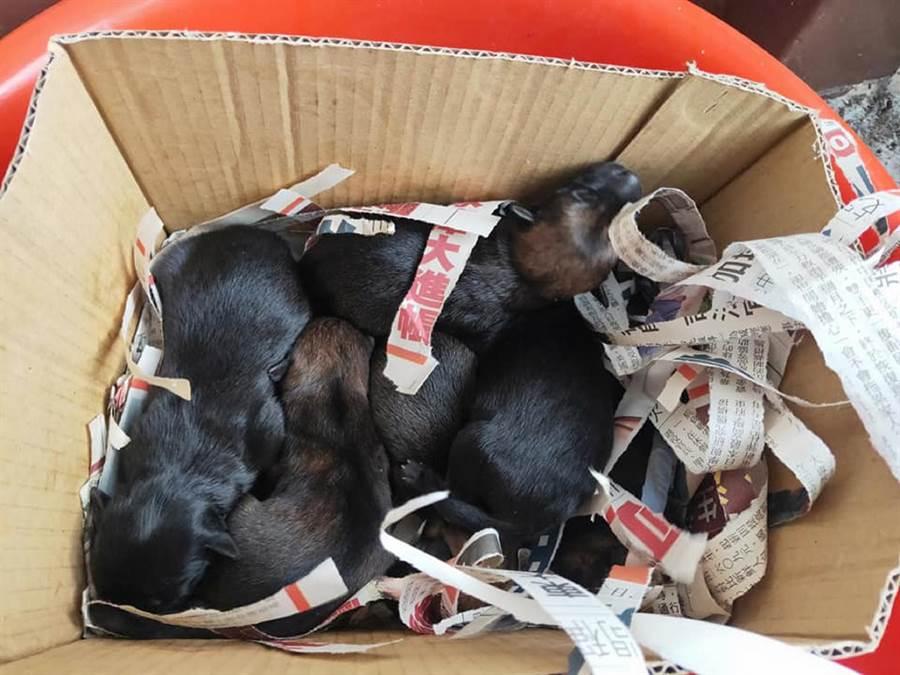 彰化田中鎮18日驚傳有人將6隻才出生的幼犬當成垃圾丟棄水溝的殘忍事件。(張瑞友提供)