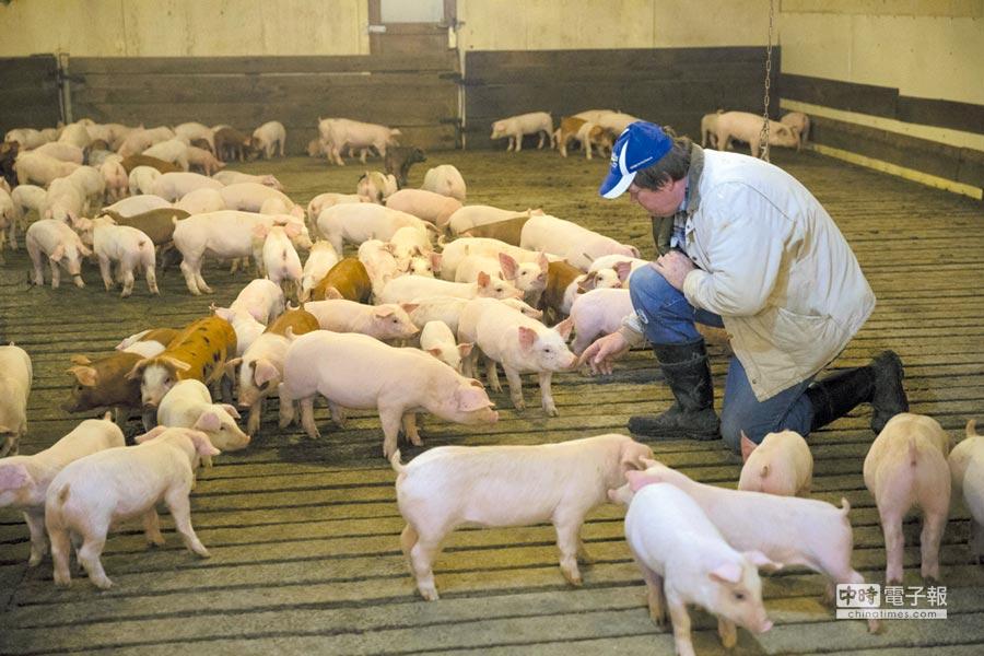 據傳中國可能會增加進口美國豬肉,但瘦肉精禁令將堅持不解除。圖/中新社