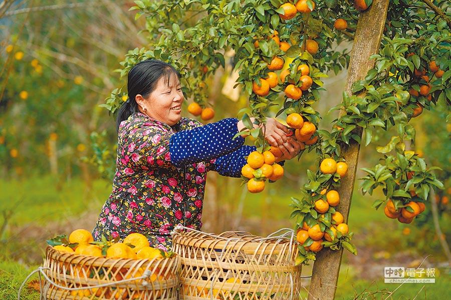 李娟為同村果農賣水果。圖為貴州榕江平江鎮果農在果園採摘橘子。(中新社)