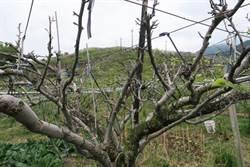 梨山雪梨開花率創新低 果農嘆「幾乎全軍覆沒」