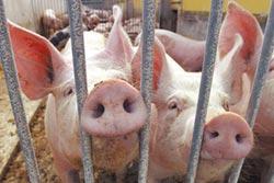 耶魯大學驚人研究!豬死4小時 注合成血竟醒腦