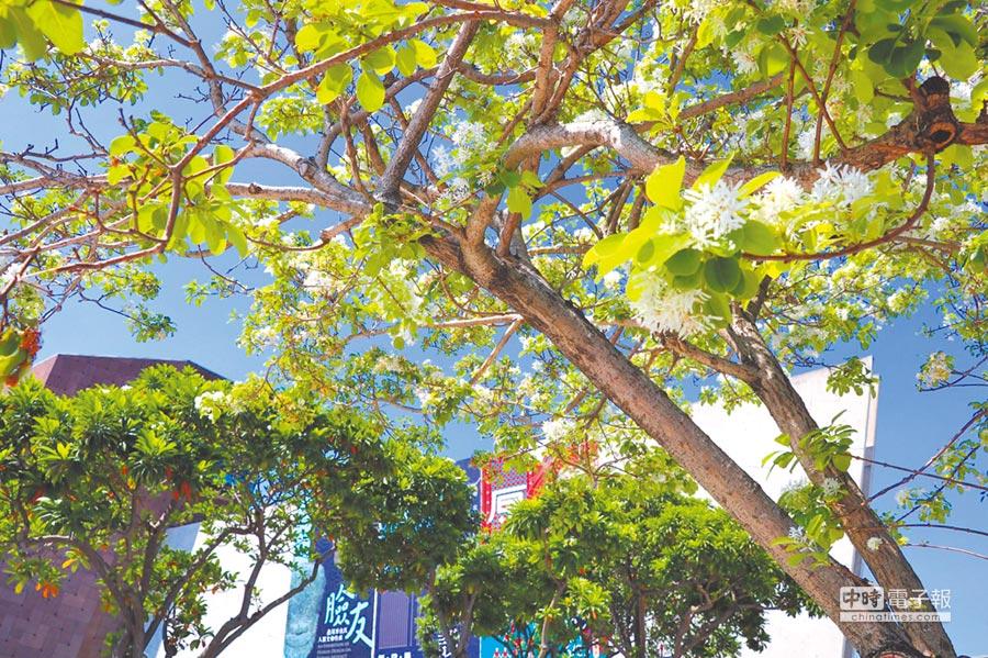 新北市立十三行博物館前方的自行車道上的流蘇花近日陸續盛開,浪漫景致讓路過民眾驚豔。(譚宇哲翻攝)