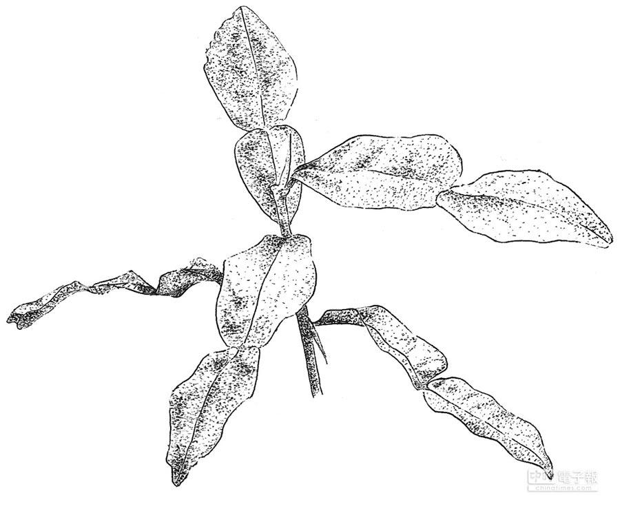 王瑞閔手繪的檸檬葉針筆圖。(麥浩斯出版社提供)