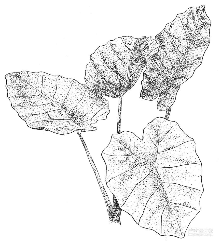 王瑞閔手繪的越南白霞針筆圖。(麥浩斯出版社提供)