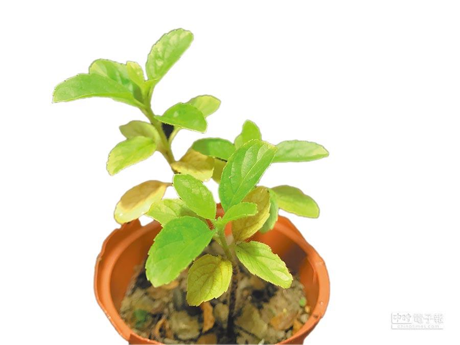 王瑞閔栽種的「打拋」小苗。(麥浩斯出版社提供)