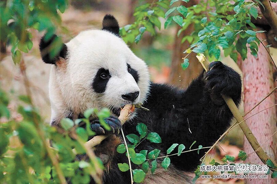 憨態可掬的大熊貓。